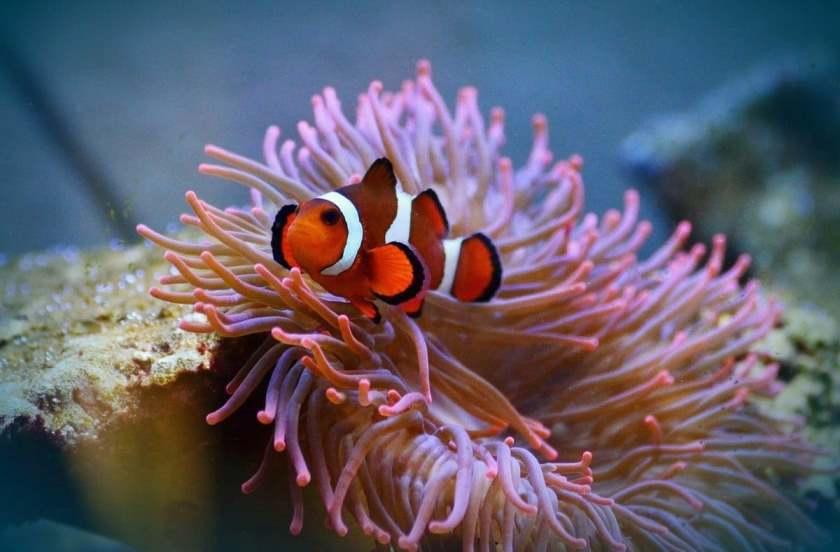 Рыба клоун и актиния - также неплохие партнеры