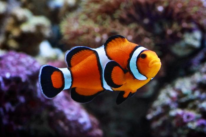 Рыба клоун называется так, потому что внешний вид ее похож на одеяние циркового лицедея