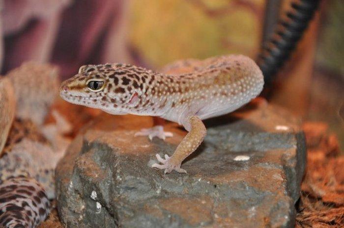 У гекконов нет дополнительного источника тепла для нагрева