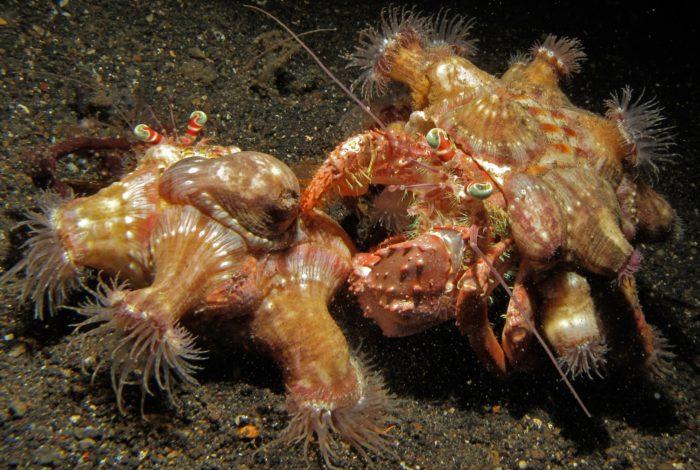 Ученые обнаружили некоторые виды отшельников и актиний, которые никогда не живут друг без друга