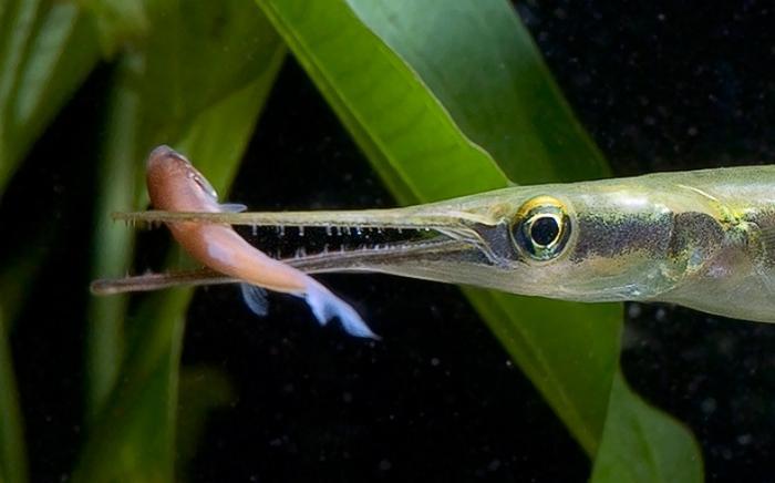 Взрослые особи предпочитают рыбок, лягушек, креветок, головастиков, науплий, планктонных рачков