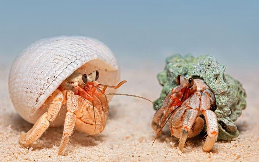 Животное выставляет из своего домика первые три пары ходильных ног