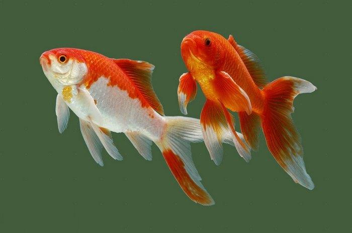 Золотые рыбки – это одни из самых древних аквариумных рыбок