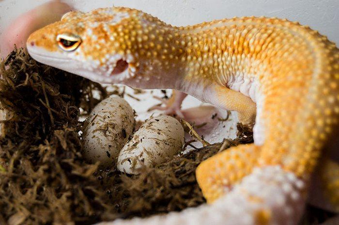 Чаще всего самка откладывает яйца ночью или ранним утром