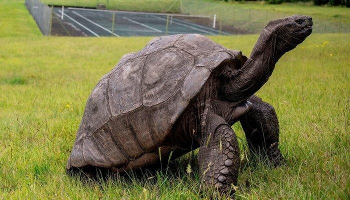 Черепаха Джонатан считается самым старым наземным животным в мире