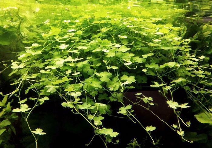 Гидрокотила трипартита — довольно нежное растение и при недолжном уходе подвергается заболеваниям