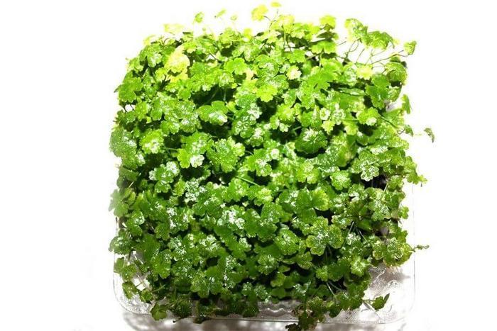 Гидрокотила трипартита — неприхотливое растение