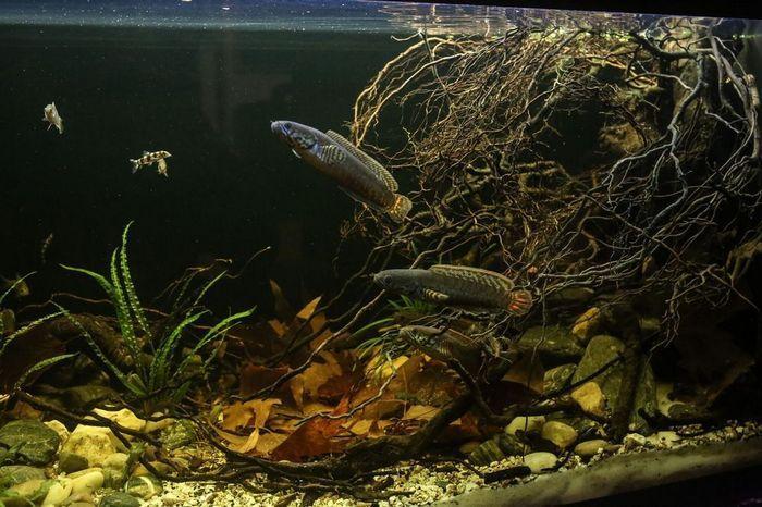 Несмотря на то что змееголовы типичные хищники, их можно содержать с некоторыми видами рыб