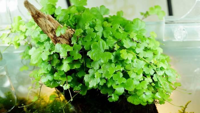 Нydrocotyle tripartite — низкое стелющееся растение с густыми маленькими листьями