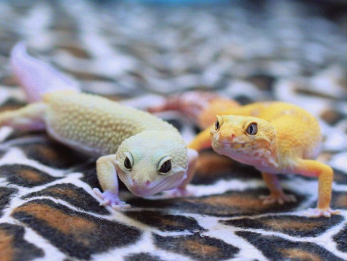 Обычно самку подсаживают к самцу в период размножения эублефаров примерно на неделю