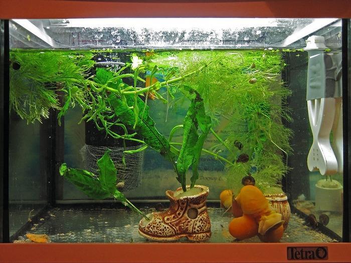 Очень важно организовать в аквариуме с ампуляриями мощную фильтрацию