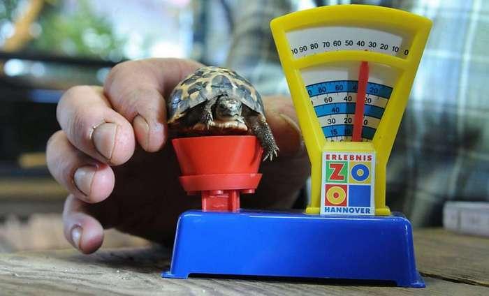 Определить приблизительный возраст черепашки можно и с помощью её взвешивания