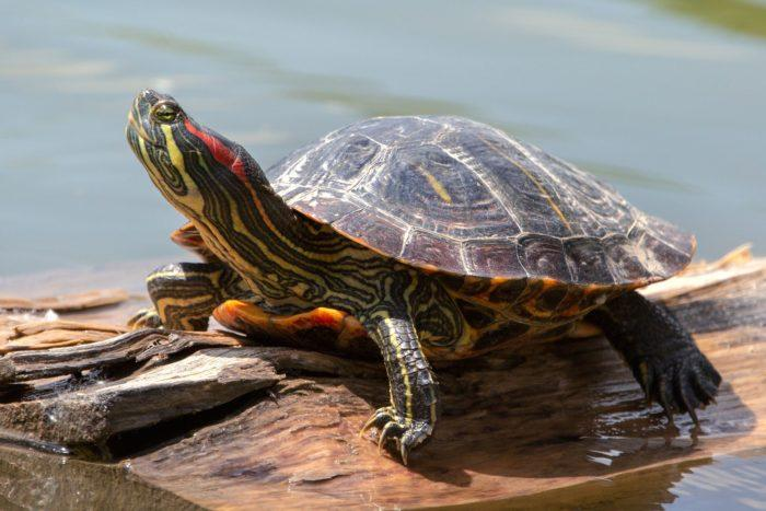 Определить возраст красноухой черепахи непросто