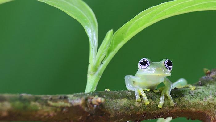 Первые лягушки из рода стеклянных были обнаружены исследователями в Эквадоре