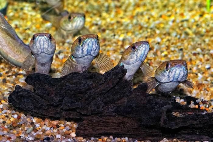 По окончании нереста, рыбки оберегают своих малышей