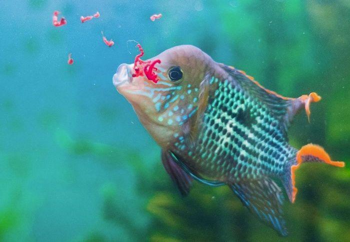 Пойманные в природе рыбы зачастую не берут сухие корма