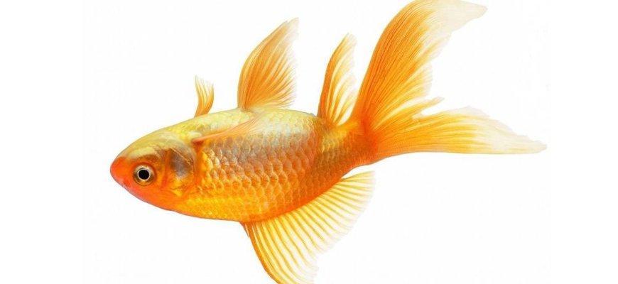 Порой случается, что золотая рыбка плавает кверху брюхом на поверхности