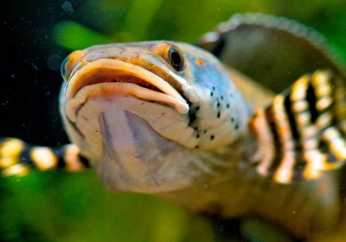 Практически в любом водоеме у змееголова нет недоброжелателей