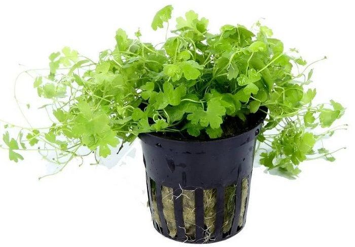 При отсутствии аквариума гидрокотилу можно выращивать на воздухе как обычное домашнее растение в горшке