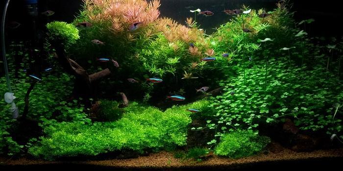 Разрастаясь в аквариуме, растение создает очень привлекательный зеленый газон