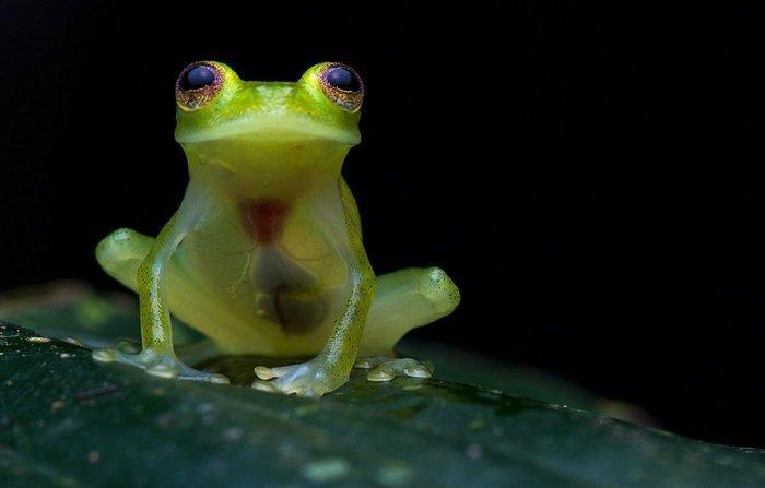 С виду стеклянная лягушка совершенно не отличается от обыкновенной – пока не увидеть ее живот