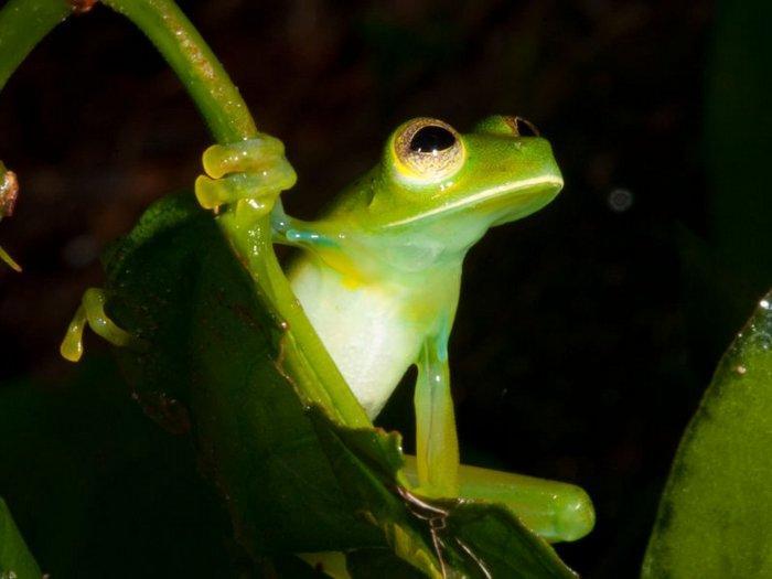 Стеклянные лягушки — это не просто вид, а целое семейство, в которое входит 60 видов
