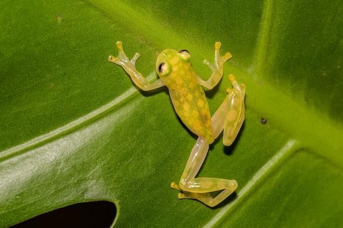 Стеклянные лягушки – удивительно красивые и хрупкие создания