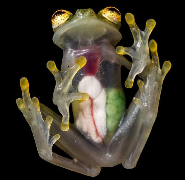 Строение стеклянной лягушки идеально подходит к ее среде обитания и образу жизни