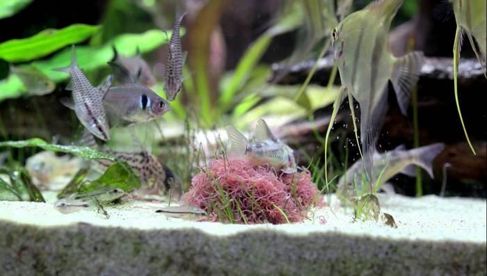 Трубочник необходим в рационе как малька, так и взрослой рыбы