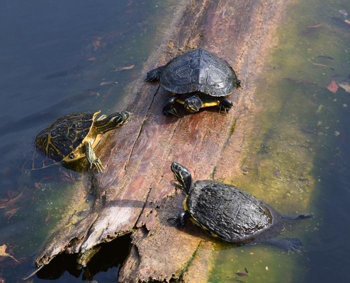 В дикой среде у черепашек хватает врагов