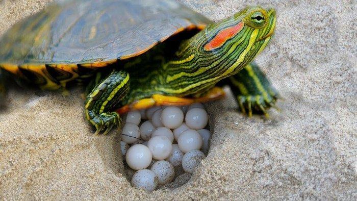 В одной кладке самка оставляет от 6 до 10 яиц