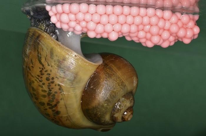 Яйца довольно крупные, могут достигать в диаметре 2-3 мм