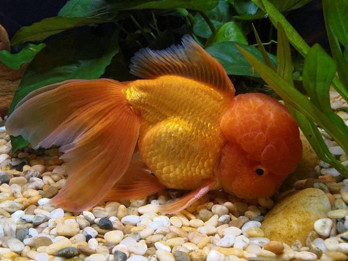 Золотые рыбки любят копаться на дне, поэтому зачастую могут проглотить мелкие камушки
