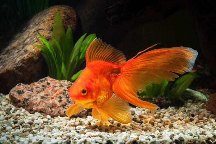 Золотые рыбки – очень красивые, грациозные и к тому же неприхотливые обитатели домашних аквариумов