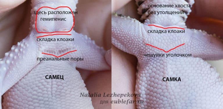 Отличия самца и самки эублефаров