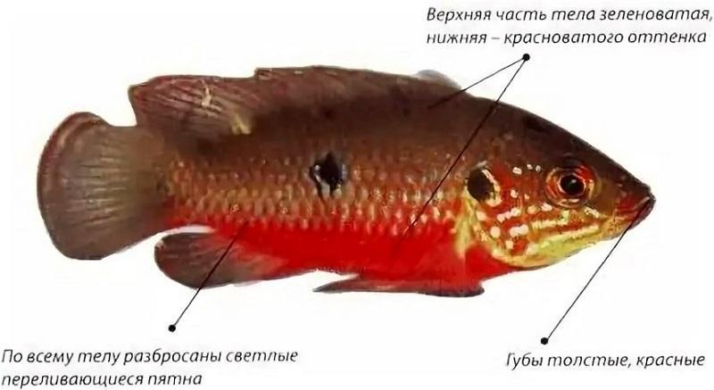 Хромис-красавец — цихлида средних размеров, тело которой окрашено в красный цвет