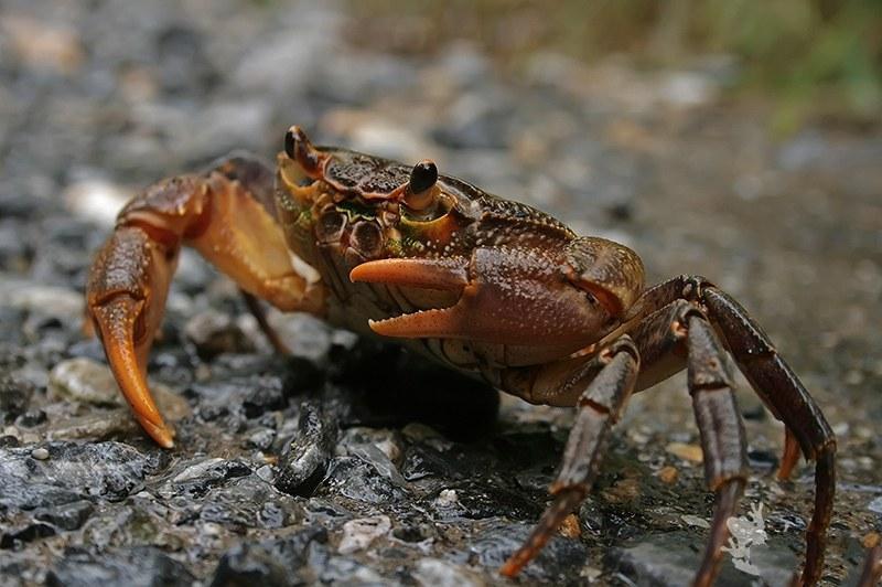 Краб Потамон обитает в ручьях, реках, озёрах или около них
