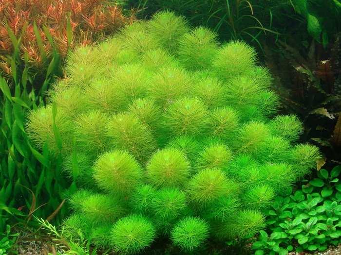 Лимнофила по праву является одним из самых красивых растений