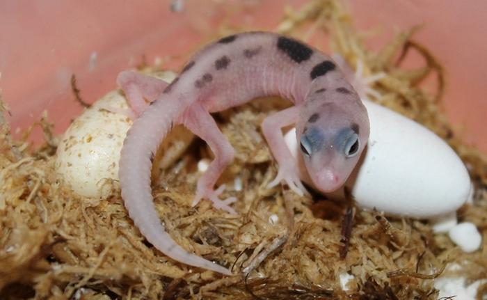 Малыши леопардовых гекконов начинают питаться с третьего-четвёртого дня от рождения