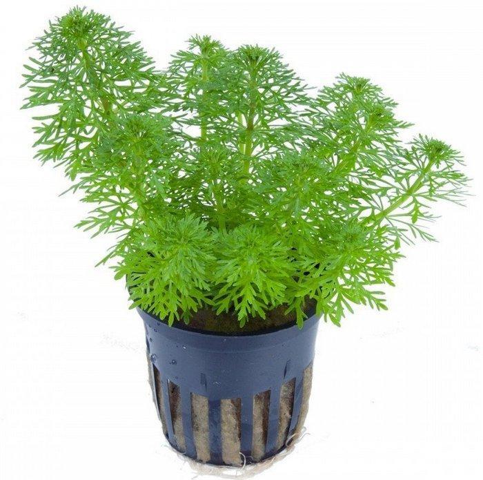 Непосредственно в грунт сажаются срезанные верхушки взрослого растения