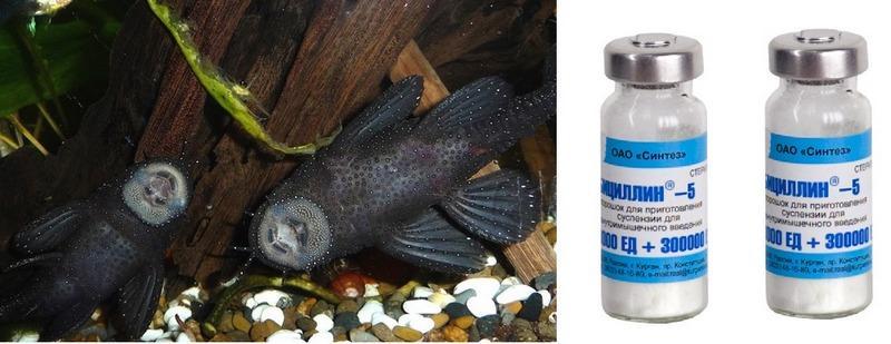 Оодиниоз у сомиков лечат с помощью антибиотика Бициллин-5