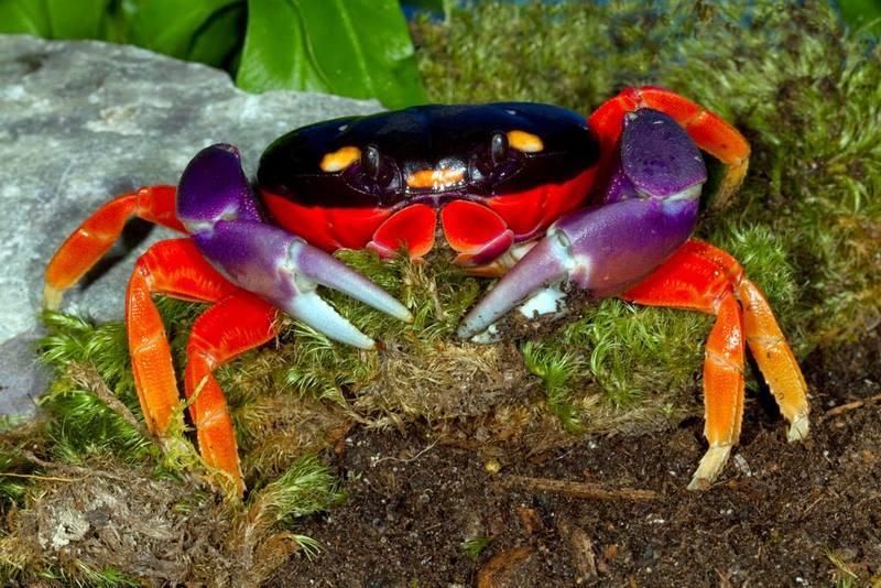 Радужный краб отличается крупным размером и красивой многоцветной окраской
