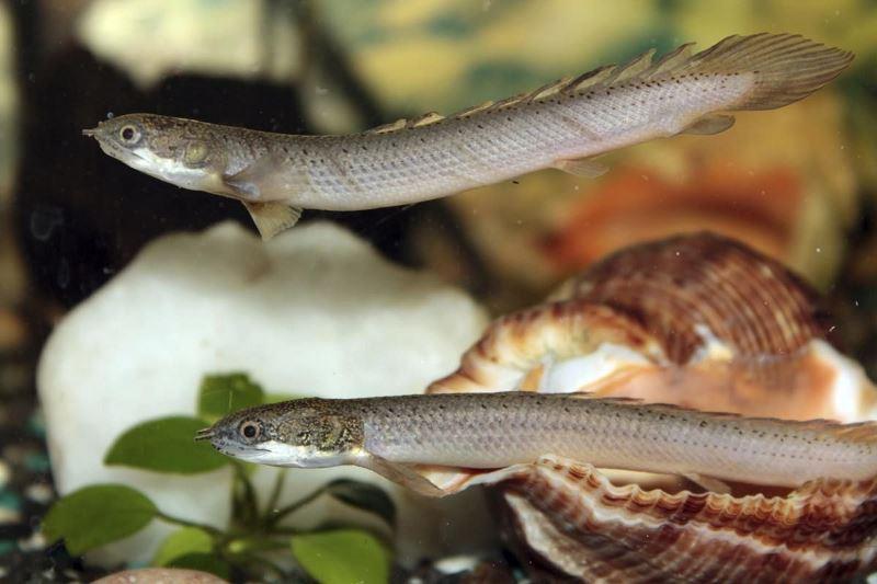 Молодые полиптерусы хорошо уживаются друг с другом