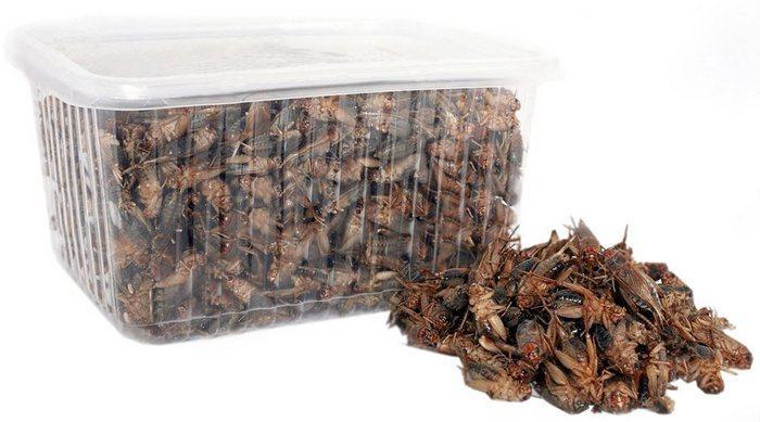 Сверчки, самые популярные насекомые, для эублефаров