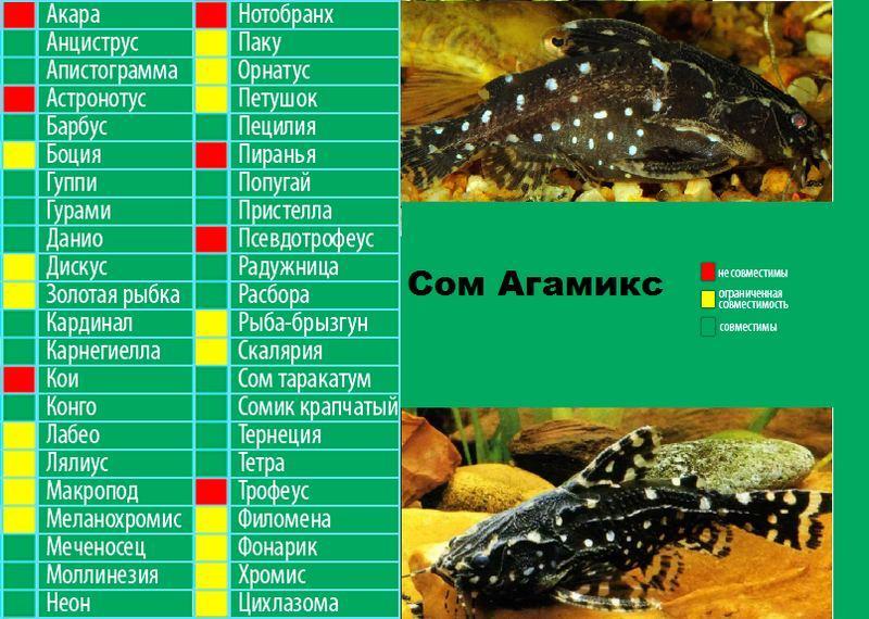 Таблица совместимости агамикса с другими рыбками