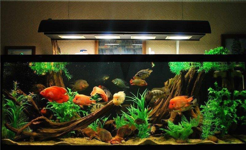 Аквариумные лампы с цветовой температурой 6000-6500 К подчеркнут яркий окрас рыбок и естественность окружения