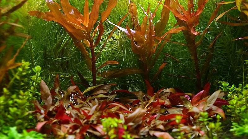 В аквариуме альтернантеру высаживают по центру