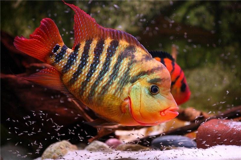 Американские цихлиды являются нежелательными соседями золотых рыбок