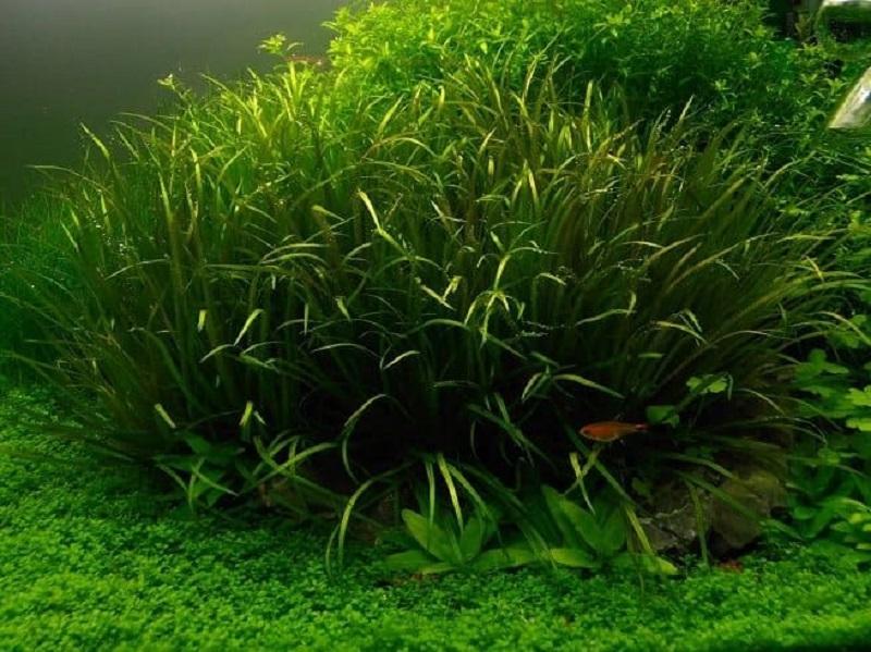 Бликса японская в природе