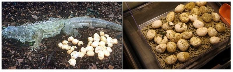 Через несколько месяцев после спаривания самка игуаны откладывает около 80 яиц